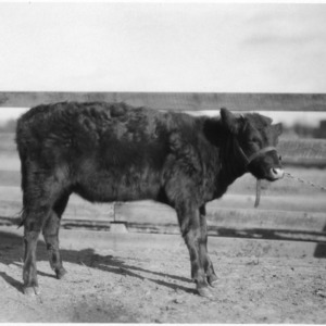 Cow at Central Experiment Station