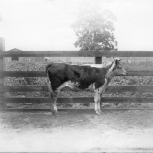 Eight-year-old calf at Central Experiment Station