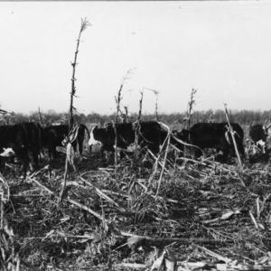 Winter feeding cattle