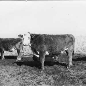 Cattle fed reeds and cotton seed meal supplements