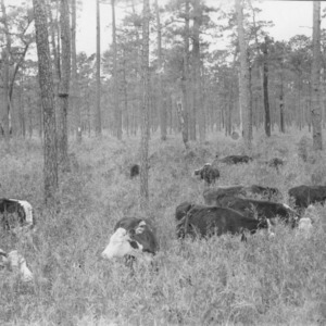 Cattle grazing in a pond pine forest