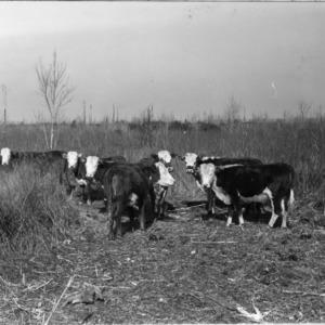 Reed-fed heifers