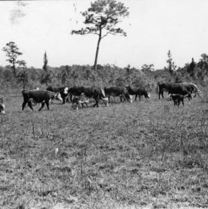 Cattle grazing on burned range