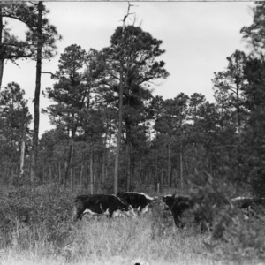 Cattle grazing in a pond pine-reed forest
