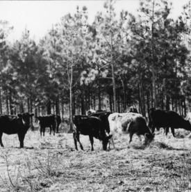 Cattle grazing in forest land