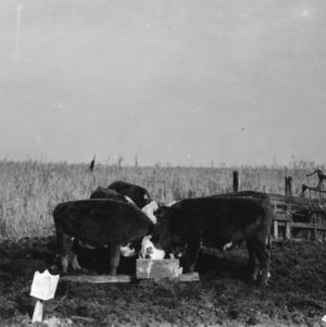 Yearling steers feeding