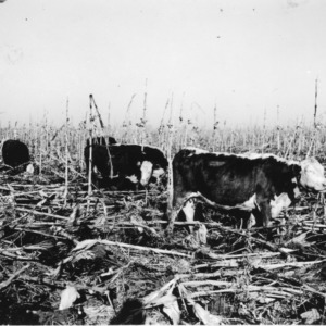 Cattle gleaning corn stalk and soybeans in winter