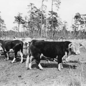 Bulls in field