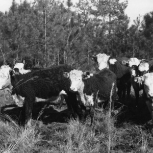 Two-year-old heifers on forest range