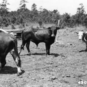 Bulls in pen