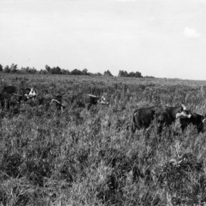 Cattle grazing on reeds