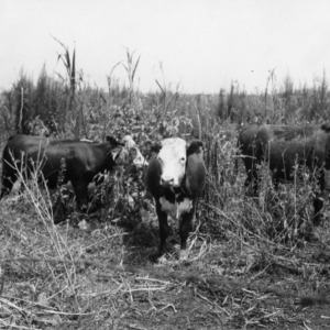 Heifers grazing in reed pasture