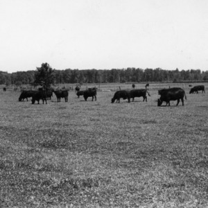 Angus cattle grazing in pasture