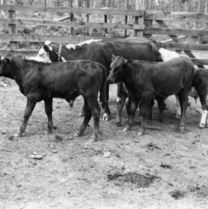 Calves from a breeding experiment