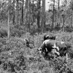 Cattle grazing in pond pine forest