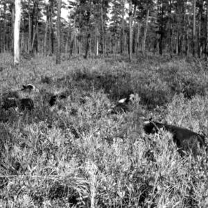 Yearling heifers in reeds