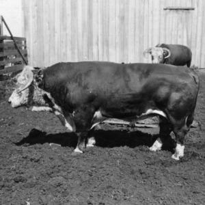 Bill bull in pen