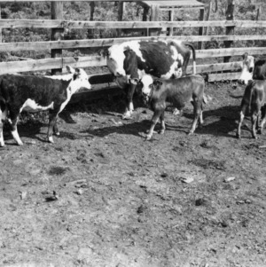 Cattle in breeding and feeding experiment