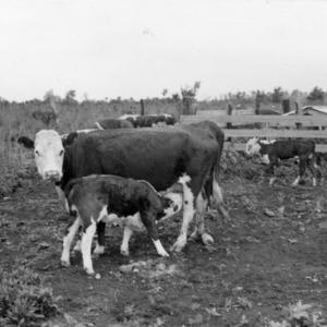 Cattle grazing on range