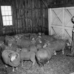 Dorset sheep at Animal Husbandry Farm