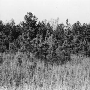 Broomsedge for cattle grazing