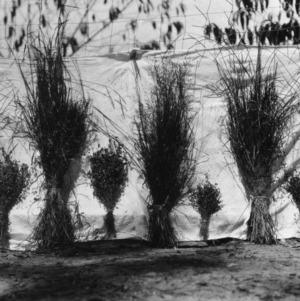 Bundles of reeds
