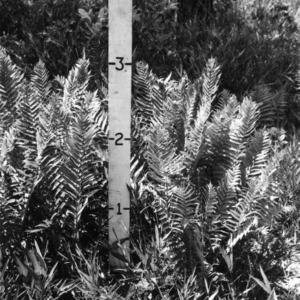 Cinnamon fern in experimental pasture