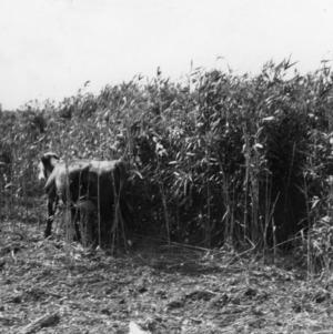 Cow in reed field