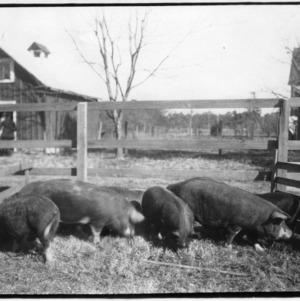 Swine in pen