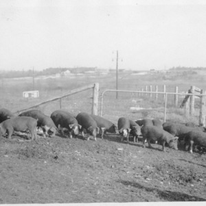 Pigs at Swine Research Farm