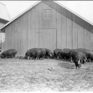 Some of the pigs at close of experiment
