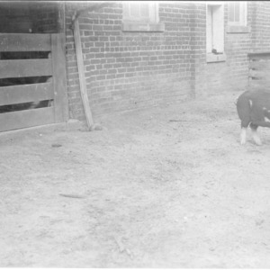Pig at Swine Research Farm
