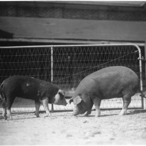 Two pigs in a pen
