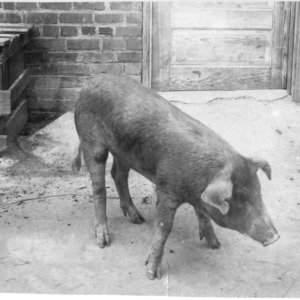 Pig at Swine Research Farm