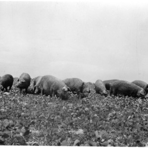 Duroc brood sows in soybean pasture