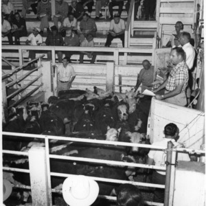 Beef Cattle Auction