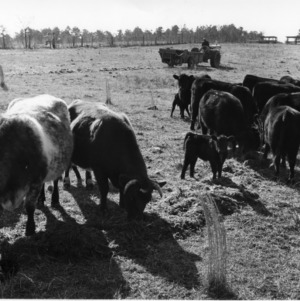 Beef Cattle in Pasture