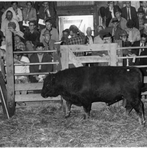 Angus Bull at Rocky Mount Bull Testing Station Sale