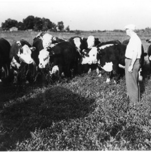 Man in field with cattle