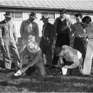 Dehorning calves during a Beef Production Short Course