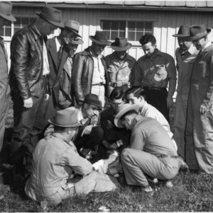 Castrating a calf, Beef Production Short Course
