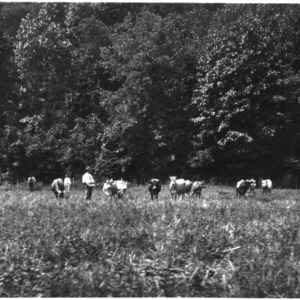 Men and cattle in pasture