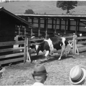 Dairy cow in enclosure