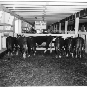 Choice calves in barn