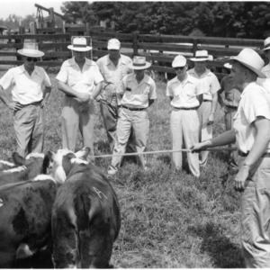 Man prodding cattle