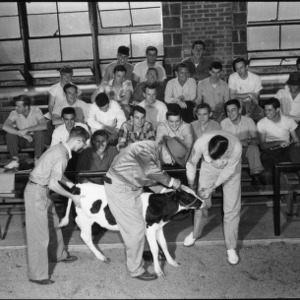 Demonstration with calf