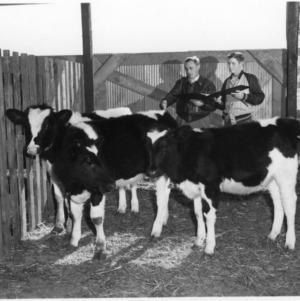 Men examining calves