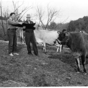 Men observing cow