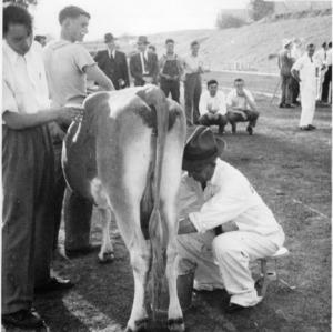 Dean I. O. Schaub milking cow