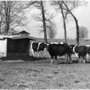 Cattle, Piedmont Experiment Station near Salisbury, N.C.